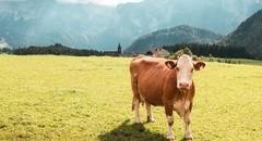 草原牛高清手机壁纸