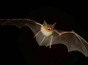 科学家研发在蝙蝠群内盘旋的无人机