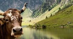 可爱的牛摄影高清图片壁纸
