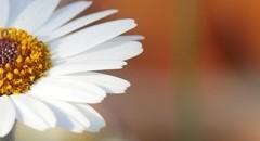 唯美意境朦胧花朵图片壁纸
